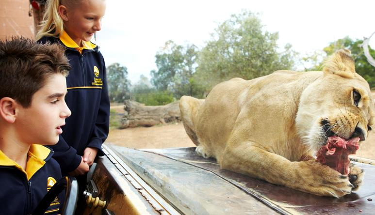 Two students watching a lion gnaw on a bone directly in front of them.