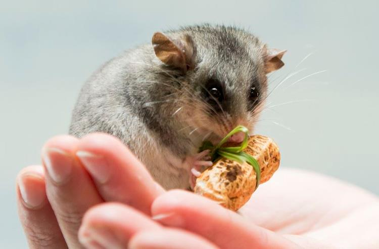 Mountain Pygmy Possum standing on its hind legs holding a peanut that was given as a christmas gift.