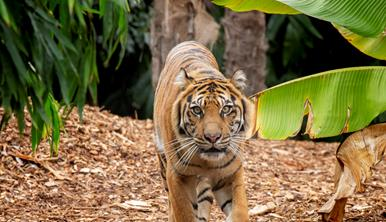 Tiger walking through bushes directly towards camera