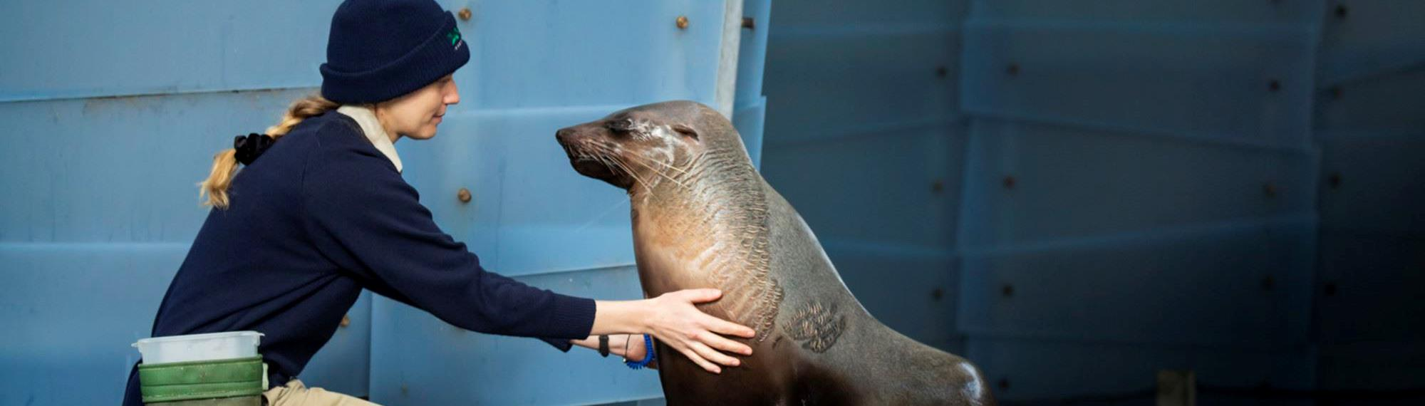 Zoo keeper kneeling next to a seal, touching the seal's body.