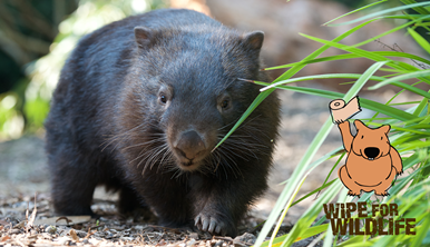 Wipe For Wildlife campaign sige with image of wombat walking towards camera.