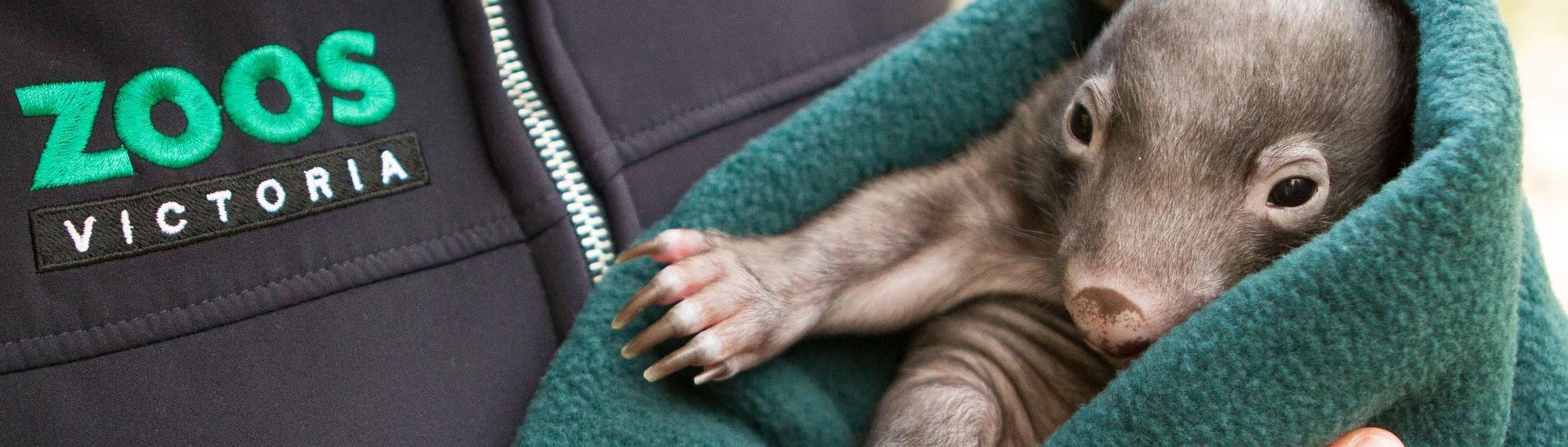 Wombat Joey Shadow wrapped snugly in a green blanket being cuddled by a keeper at Healesville Sanctuary.