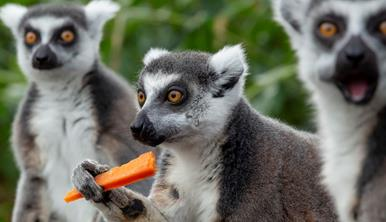 Three lemurs close up, one eating a carrot