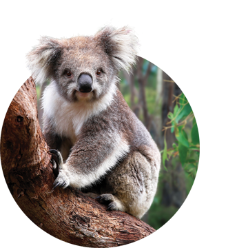 Koala smiling at camera and sitting on thick branch