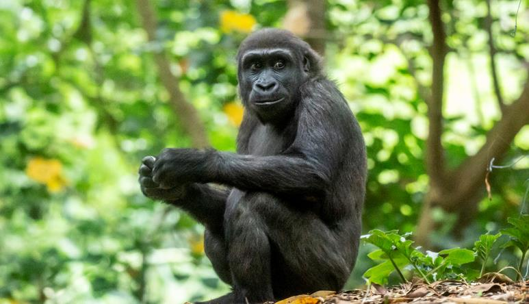 Young gorilla sitting on the hill with trees in the background