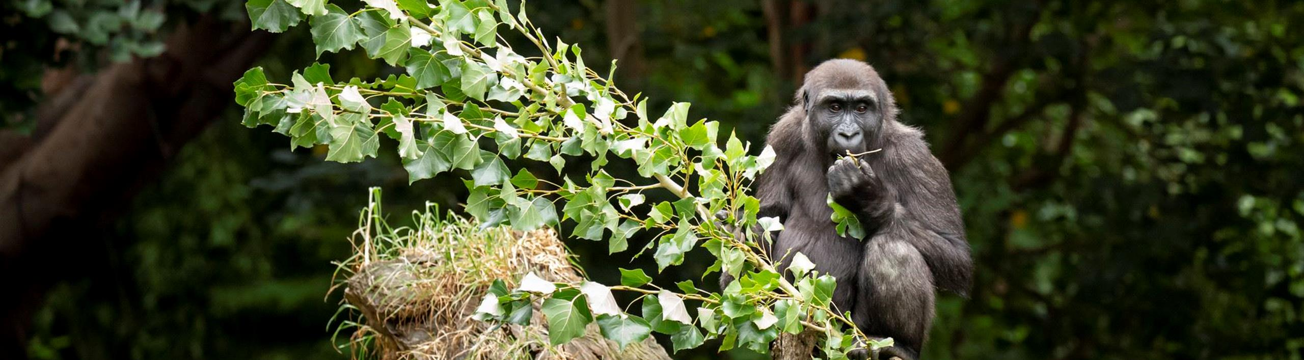Kanzi the gorilla eating a large branch of leaves on her 4th birthday.