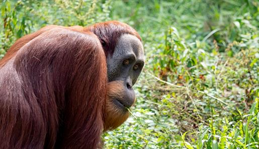 An adult Orang-utan looking back over his shoulder. There is green foliage in the background and he has a blade of grass in his mouth.