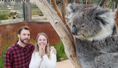 Koala sitting in the fork of a tree. A smiling couple watch the koala from behind. They are within the koalas enclosure doing the Koala Encounter.