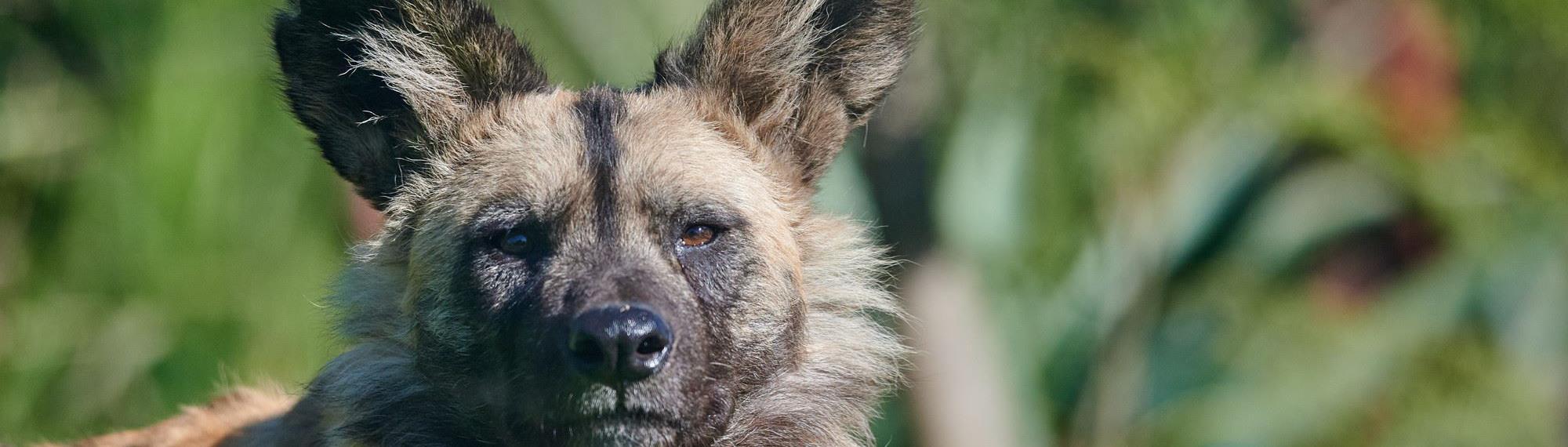 African Wild Dog staring at camera