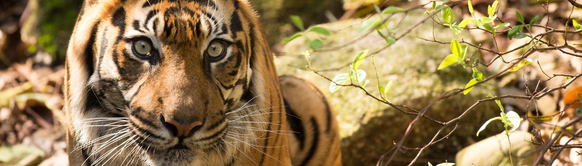 Sumatran Tiger sitting near a bush. Looks like he is ready to pounce while staring at the camera.
