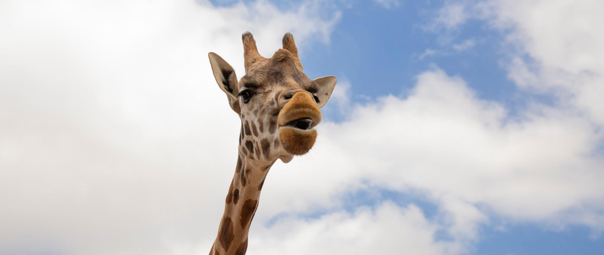 Giraffe head and long neck close up with blue sky and fluffy clouds in the background. Its mouth is partially open.