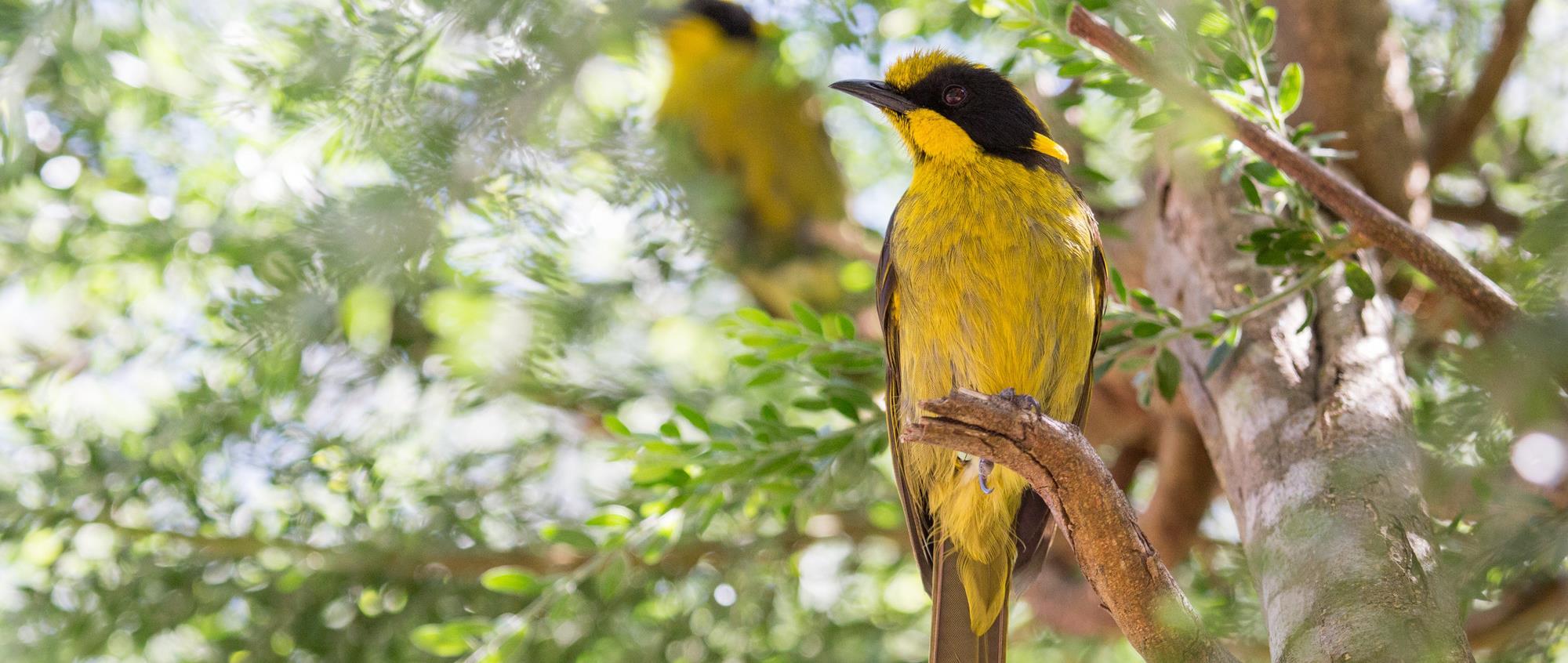 Two Helmeted Honeyeaters on a branch with sun glistening through the leaves