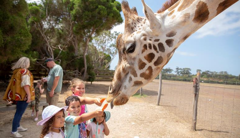 Side view of Giraffes head leaning down to eat carrots that four excited children are holding up for it. Giraffe has its blue tongue partially out.