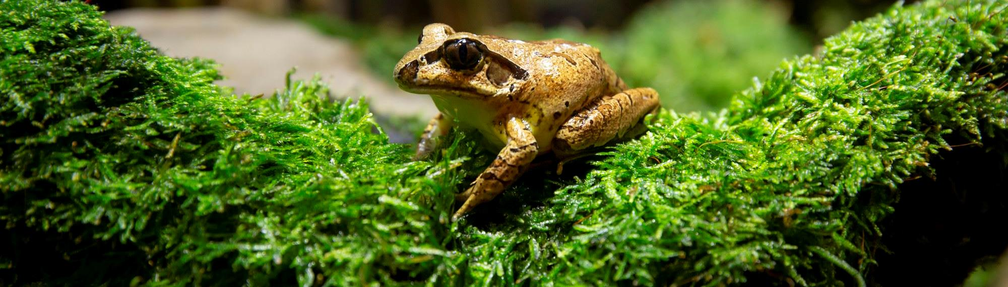 Stuttering Frog sitting on green moss. Frog is a golden olive-green with a black stripe through its eye.