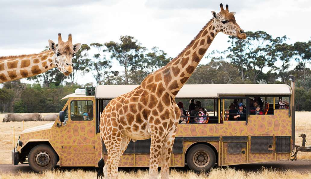 Two giraffes in front of the safari bus on the savannah