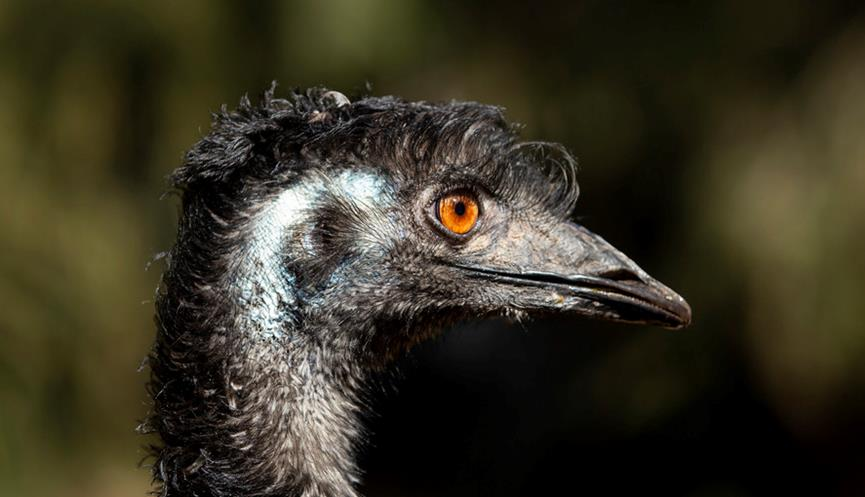Close up profile of an emu head. The emu is facing to the right and has an orange eye.