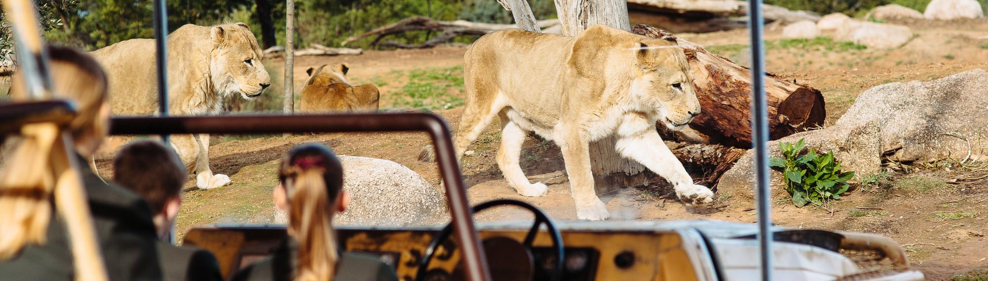 Students sitting in stationary jeep observing the lions through the glass viewing area. Three lions can be seen.