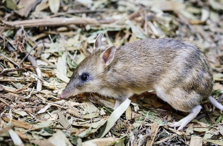 Small Eastern Barred Bandicoot side view foraging in leaf litter.