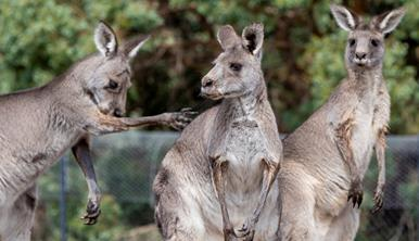 Three standing Eastern Grey Kangaroos. One has its front paw out stretch and appears to be licking it.