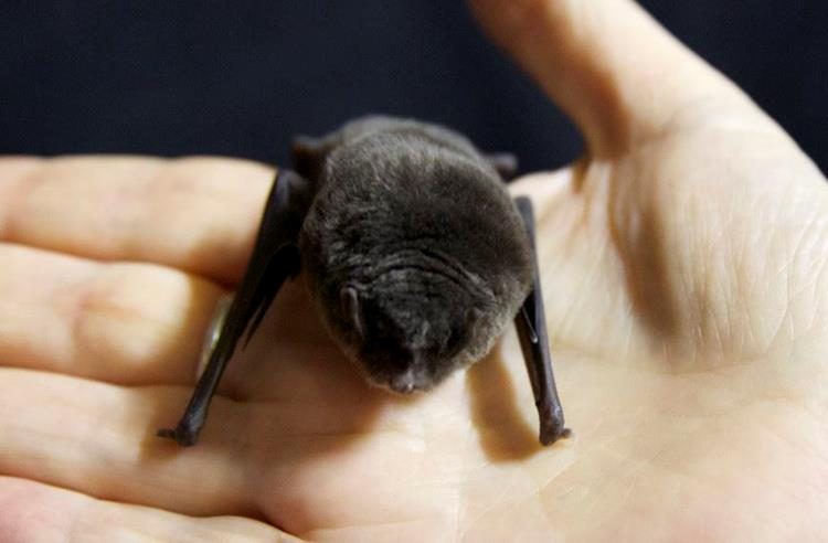 Southern Bent Wing Bat sitting in a persons hand. Bat is fluffy black grey with wings bent in close to its body.