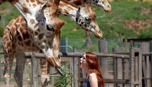 A woman gasping as she feeds a giraffe a branch of leaves at Werribee Open Range Zoo.