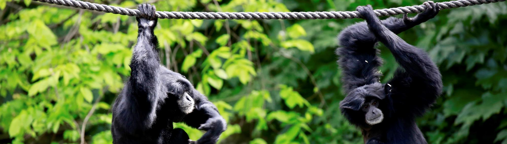 Two siamangs hanging on rope over the river