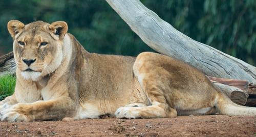 Jarrah the lioness laying down and resting beneath tree in her enclosure. She is gazing into the distance.