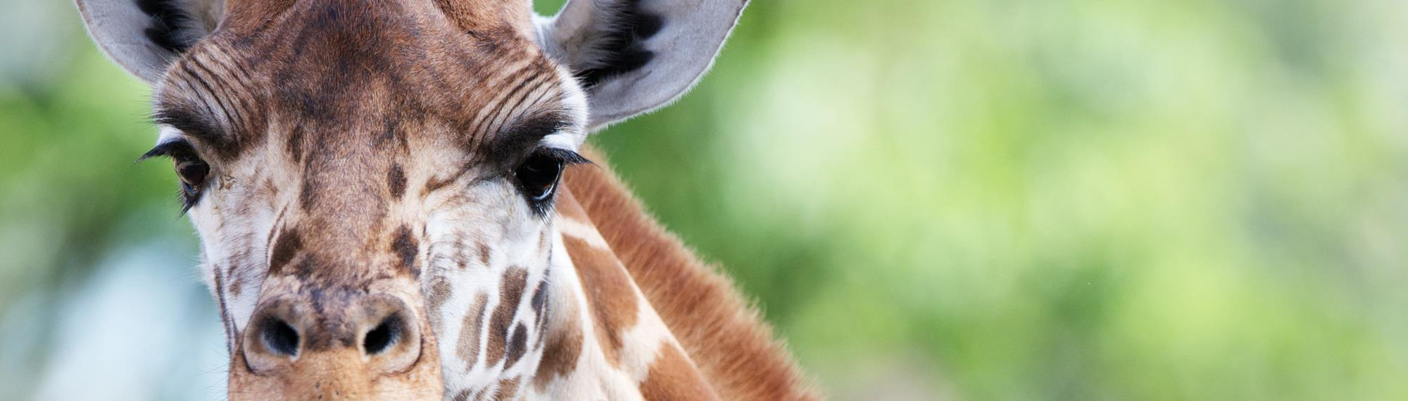 Close up face view of a Rothschild Giraffe. He is looking towards the camera with a green background.