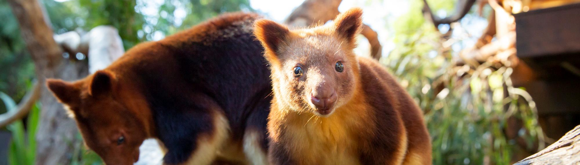 Tree kangaroo staring directly into camera with another tree kangaroo in the background perching on a branch