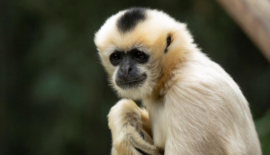 Female White Cheeked Gibbon looking towards camera.