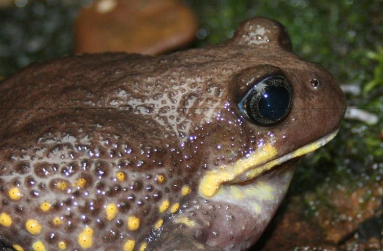Giant Burrowing Frog on wet rocks side view. The frog is dark brown with yellow lips and spots on its side.
