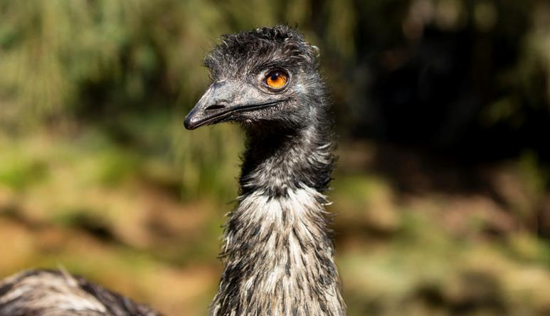 Head of an emu, its looking to the left. It has grey and white feathers and an orange eye.