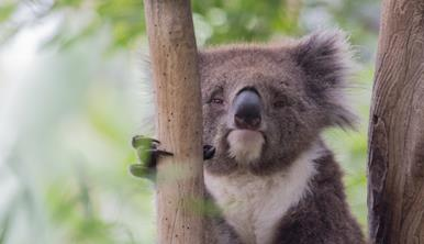 Koala in tree holding onto branch with claw and looking lazy