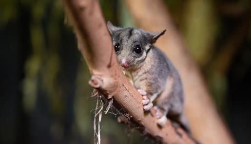 Leadbeater's Possum on branch