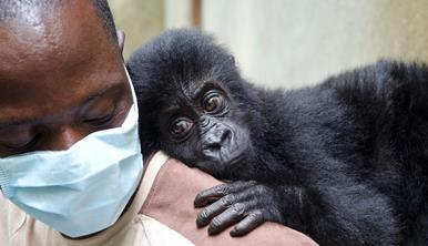 A doctor wearing a hospital mask with a baby orphan gorilla on his shoulder.