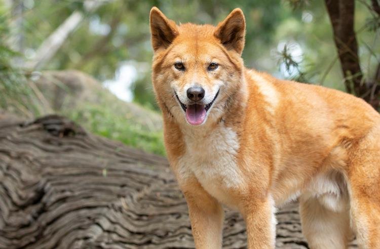 An orange dingo looks towards the camera. Its mouth is open and its ears are up. There is a tree trunk lying on the ground and shrubs behind it.