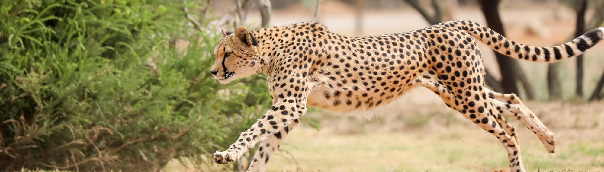 Side view of Kulinda the cheetah running towards the left with a shrub behind her.