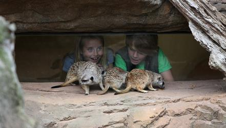 A boy and girl observing three meerkats, eating meal worms on a rock, through a window. Children look amazed at how close the meerkats are.
