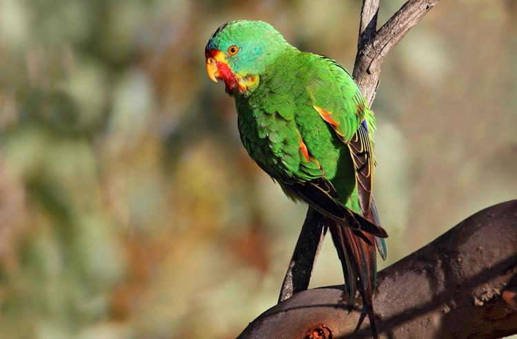 Green Swift Parrot perched on a branch looking sideways towards the camera.