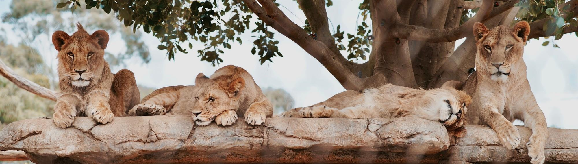 Four lion siblings relaxing on a rock under the shade of a big tree