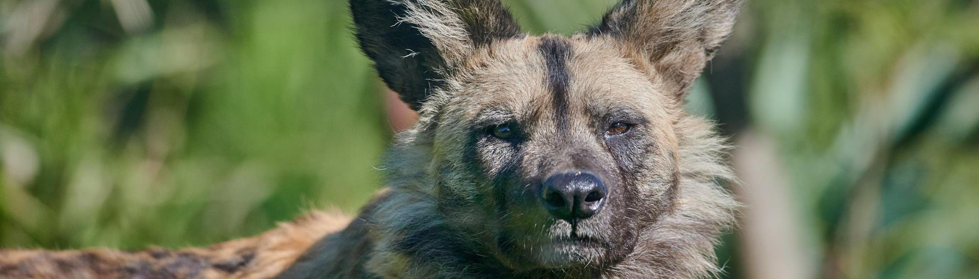 African Wild Dog portrait. He is looking sternly at the camera.