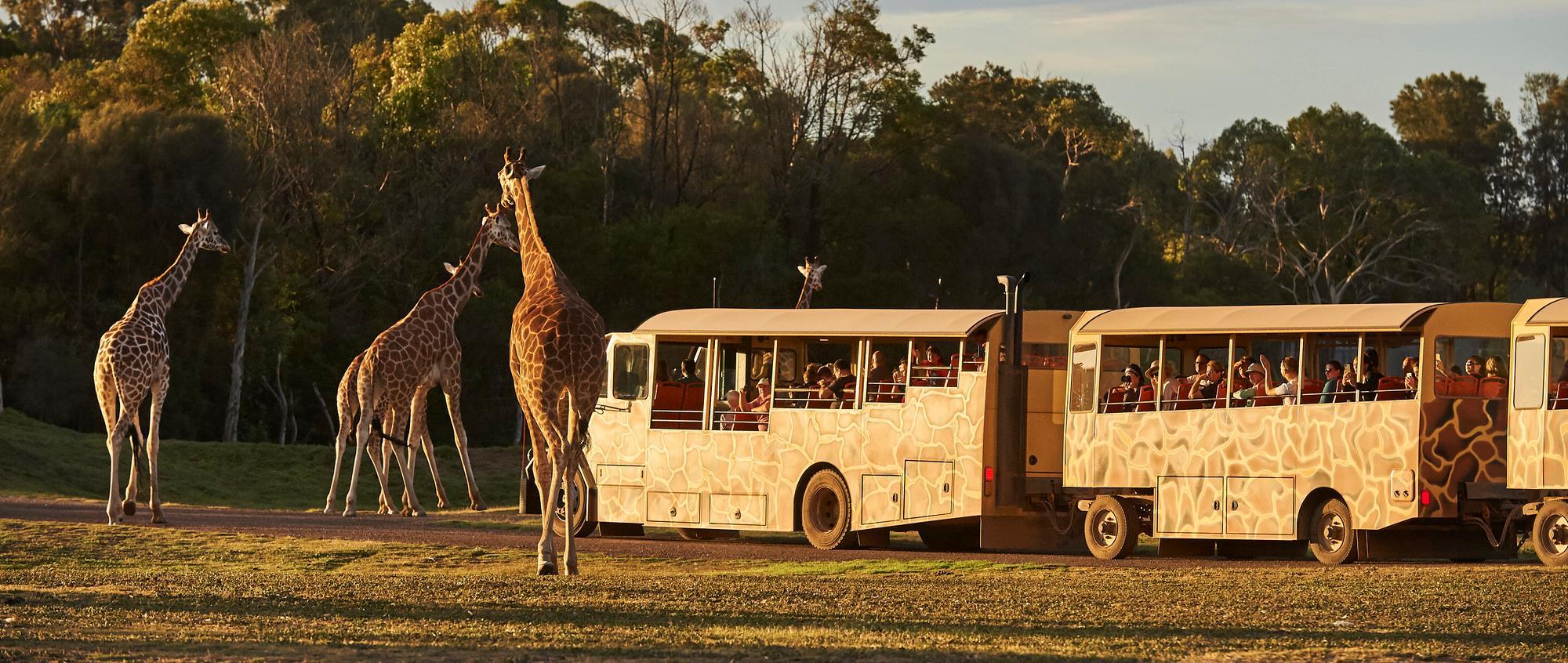 Safari bus driving across savannah with four giraffes walking nearby