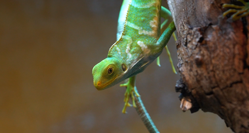 Bright green with pale stripes the critically endangered Fijian Crested Iguana is hanging from a branch.