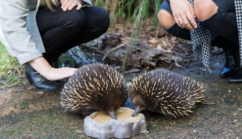 Two echidnas eating out of a bowl as two people crouch behind them.