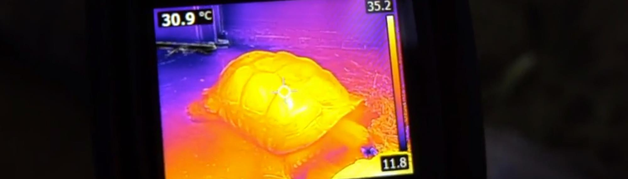 Thermal image of Tortoise at Melbourne Zoo reptile house.