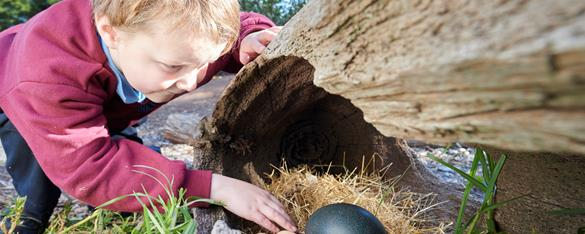 Small child reaching into a hollow log with a nest. Inside the nest are three small pale eggs and a large green emu egg.