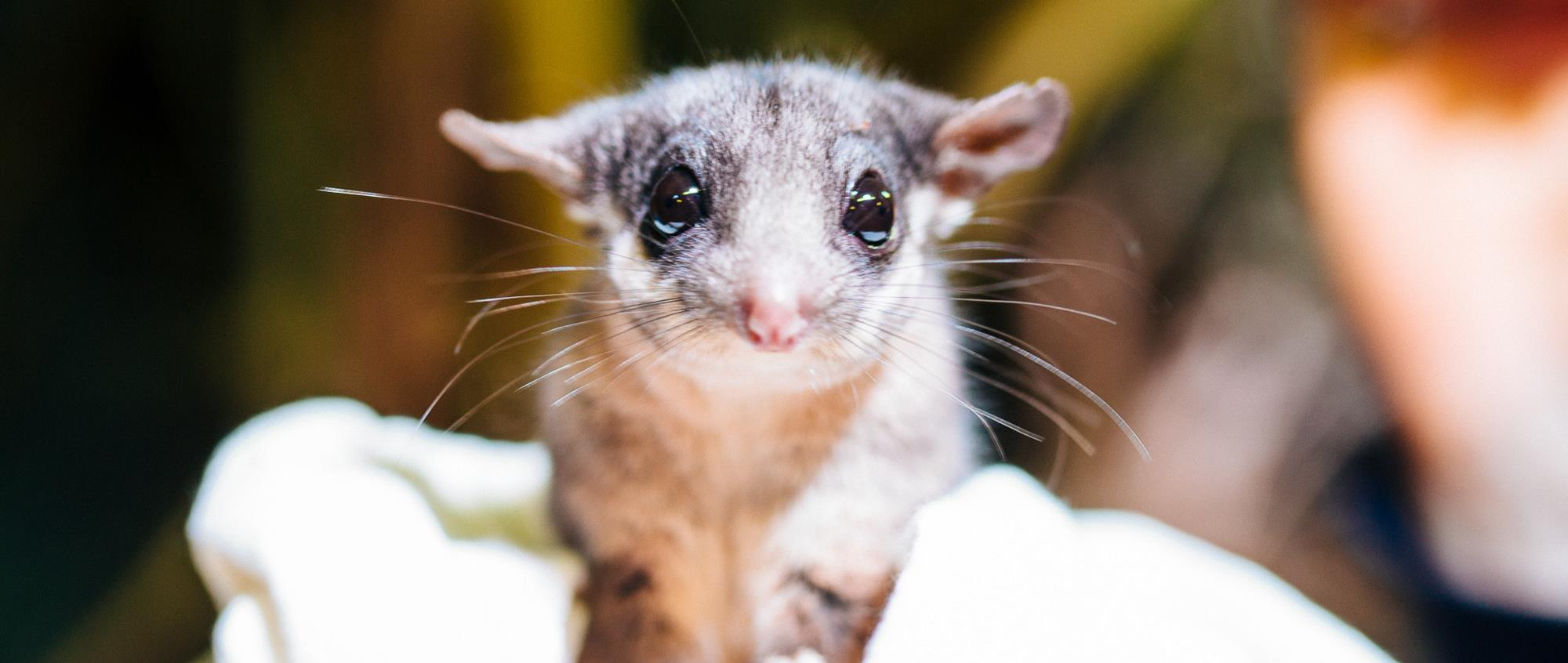 Close up of cute Leadbeater's Possum with big eyes, being held by a keeper