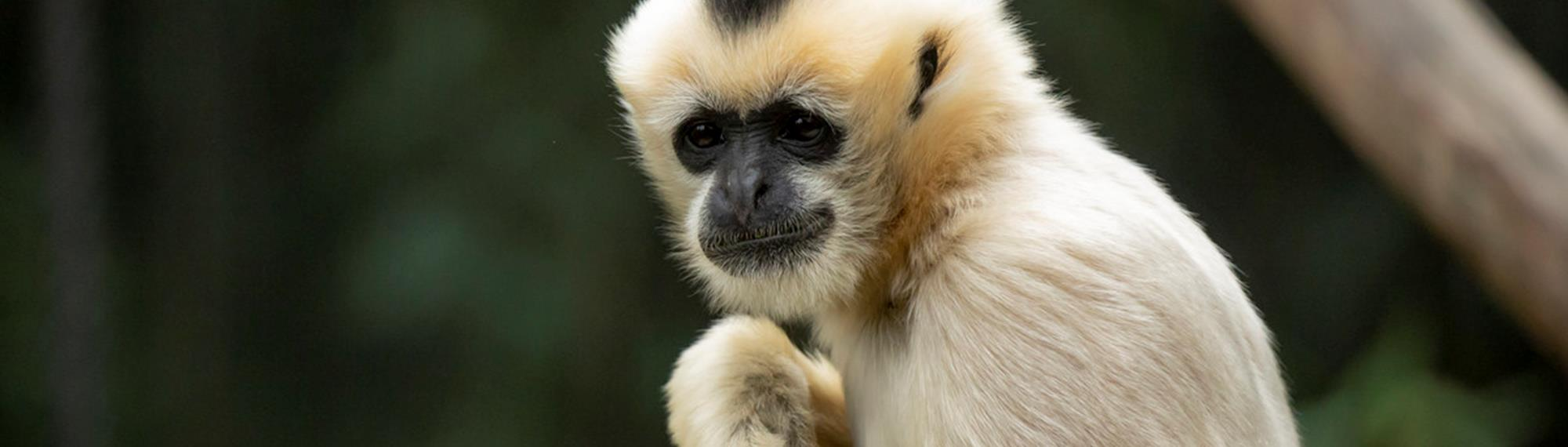 Female White Cheeked Gibbon looking towards camera