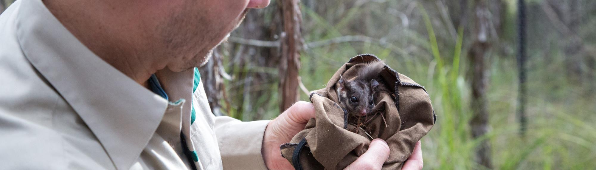 Man looking at a young Leadbeater's Possum in a sack.