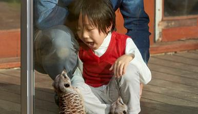 A small child crouching down with his mouth open in wonder watches two curious meerkats who are looking at him through the glass. A father is crouched behind the child.